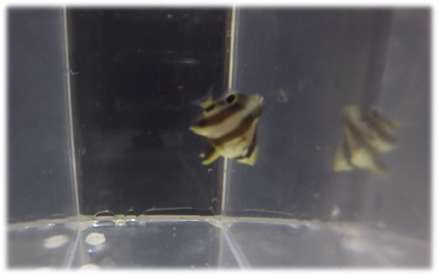 https://www.risingtideconservation.org/successful-aquaculture-of-the-banded-butterflyfish-chaetodon-striatus/