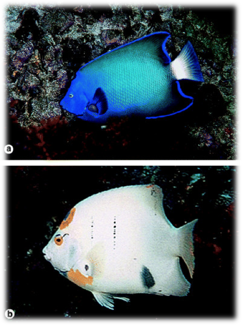 Espécimes endêmicos de [i]Holacanthus ciliaris[/i] com coloração atípica (JC Joyeux [i]et al[/i]. 2008, Biogeography of tropical reef fishes: the South Atlantic puzzle. [i]Journal of Biogeography[/i], 28:831-841)