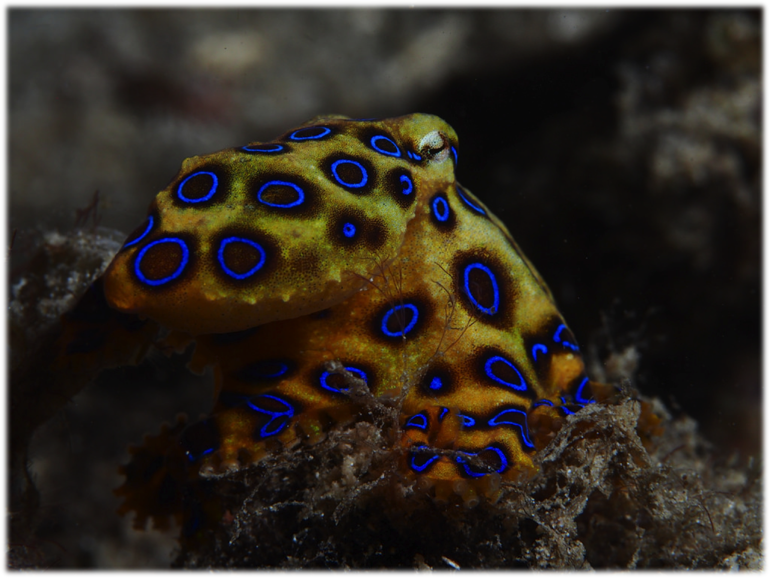 http://animalia-life.club/other/greater-blue-ringed-octopus.html