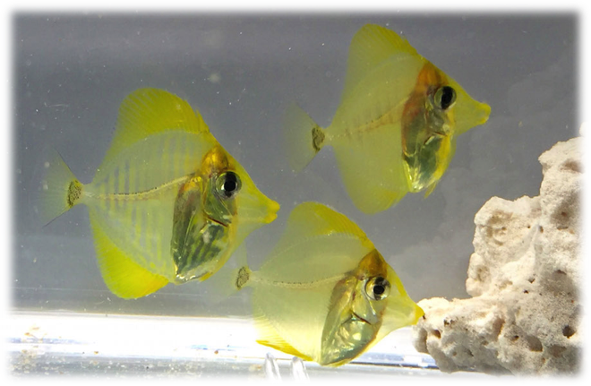 Juvenis de [i]Z. flavescens[/i] produzidos no Oceanic Institute, Hawaii Pacific University (https://seaworldcares.com/2015/10/one-small-fry-for-rising-tide-one-giant-leap-for-marine-aquaculture/)